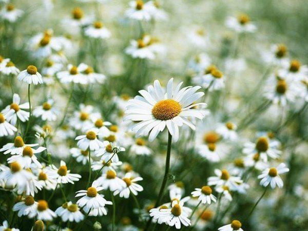 Mơ thấy hoa cúc là điềm báo lành hay dữ?