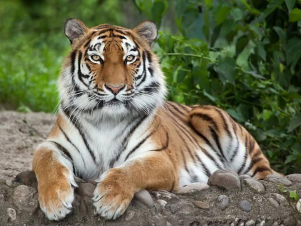Mơ thấy hổ là điềm gì? Đánh con gì khả năng trúng cao?