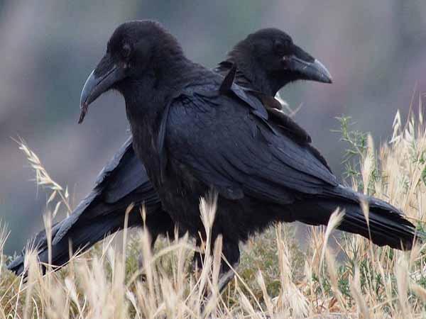 Nằm mơ thấy quạ đánh con gì, có điềm báo gì cho bạn