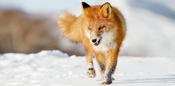Mơ thấy con cáo điềm báo gì đánh số gì chắc trúng
